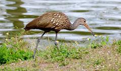 Limpkin (Aramus guarauna); Fort Myers, FL, Lakes Regional Park [Lou Feltz] (deserttoad) Tags: nature animal fauna bird wildbird wader limpkin florida refuge park lake reflection