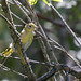 American goldfinch (Spinus tristis) fledgling