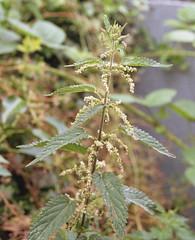 Urtica dioica (DH73.) Tags: urtica dioica stinging nettle weed minolta x300 tokina 3570mm sd zoom kodak colorplus 200
