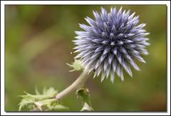 Echinops (clamar18) Tags: flower echinops mauve jardin mérysurcher nature