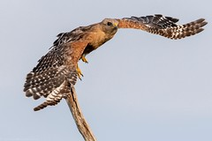 Red shouldered hawk. (zachzombiesphotos) Tags: