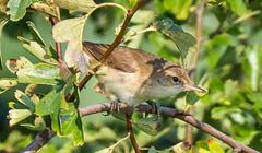 Oare 25.07.19 Reed Warbler