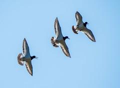 Oare 25.07.19 Oystercatchers flying