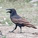 Punjab Raven