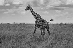 Giants Falling (miTsu-llaneous) Tags: masai giraffe masaigiraffe kenya nairobinationalpark africa giant animal wildlife nature wildlifephotography naturephotography naturescenes blackandwhite monochrome nikon savanna african kenyan landscape d500 tamron 150600 150600mm black white nikond500