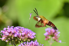 Hummingbird Clearwing Moth (jt893x) Tags: 150600mm d500 hemaristhysbe hummingbirdclearwingmoth insect moth nikon nikond500 sigma sigma150600mmf563dgoshsms thesunshinegroup alittlebeauty ngc sunrays5