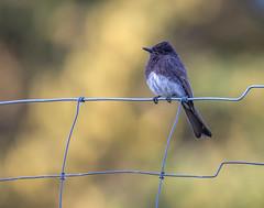 Black Phoebe (dshoning) Tags: fencefriday black phoebe bird oregon perched june