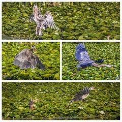 Heron encounter with a Mallard, Burnaby, BC (gks18) Tags: collage blueheron lake water nature mallard duck canon lightroom nik pixlr birds