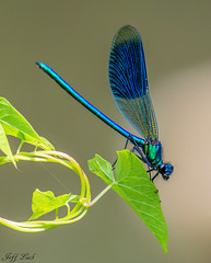 DSC0876  Banded Demoiselle.. (Jeff Lack Wildlife&Nature) Tags: bandeddemoiselle demoiselle odonata insects insect dragonflies dragonfly damselfly wildlife wetlands wildlifephotography jefflackphotography macro naturephotography nature reservoirs reeds reedbeds rivers riverbanks lakes ponds waterways canals