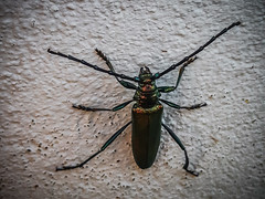 a big longhorn beetle on the wall (Peters HDR hobby pictures) Tags: petershdrstudio hdr animal bug longhornbeetle bockkäfer käfer insekt erzgebirge