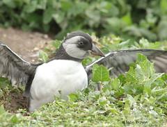 Puffling (alison brown 35) Tags: puffling young puffin sea bird burrow uk alisonbrown35 july 2019 innerfarne farneislands northumberland ngc npc