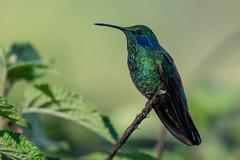 Lesser Violetear (Josh13770) Tags: puravida costa rica costarica lesservioletear monteverde