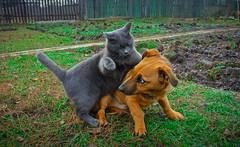 Fight ! (denkuznets81) Tags: cat dog pets animal domestic кот собака животные