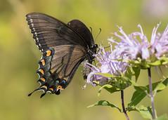 Eastern Tiger Swallowtail (dark form) (sbuckinghamnj) Tags: butterfly butterflies newjersey whitelake