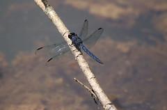 Slaty Skimmer (Diane Marshman) Tags: dragonfly slatyskimmer slater skimmer blue body abdomen clear black spot wings summer pa pennsylvania nature water tree branch resting