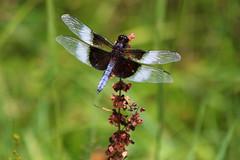 Dragonfly (Diane Marshman) Tags: widowskimmer dragonfly widow skimmer blue abdomen body clear white pale wings black head dried weed flower field green summer pa pennsylvania nature
