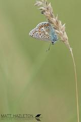 Common blue (Matt Hazleton) Tags: commonblue polyommatusicarus butterfly insect wildlife animal nature outdoor matthazleton matthazphoto bcnwildlifetrust summerleys northamptonshire canon canoneos7dmk2 canon100mm 100mm eos 7dmk2