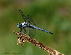 Occasionally it's good to pause, take a moment and remind yourself.... (itucker, thanks for 5+ million views!) Tags: dragonfly blueskimmer hggt hdt plantdelightsnursery greatblueskimmer