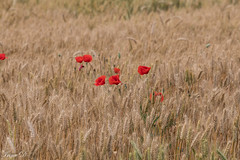 Whispers of the plains (Irina1010) Tags: wheat golden cereal crop field plain landscape countryside poppies red flowers contrasts nature morocco 2019 rifmountains canon coth5