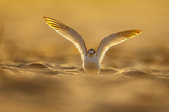 Least Tern (wn_j) Tags: birds birding wildlife wildanimals wildlifephotography nature naturephotography canon canon1dxii canon500mm capemay capemaymeadows southcapemaymeadows tern leasttern sunrise