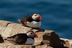 Puffin (jon lees) Tags: atlanticpuffin bird farne islands northumbria england uk
