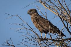 Zimbabwe, Zambia, Botswana - June 2019-426 (straight_shooter_socal1) Tags: botswana brownsnakeeagle eagle gameviewingdrive oatultimateafrica okavangodelta