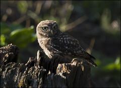 Little Owl (Craig 2112) Tags: little owl athenenoctua wild bird prey yorkshire tree stump