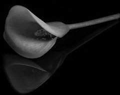 Reflecting On A Calla Lily In Black And White (Bill Gracey 24 Million Views) Tags: callalily callalilien fleur flower flor homestudio floralphotography blackbackground blackandwhite blancoynegro noiretblanc offcameraflash filllight yongnuo yongnuorf603n macrolens reflection perspex lastoliteezbox softbox lakeside silverefexpro