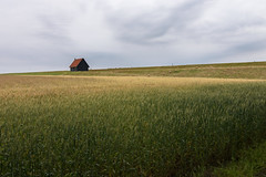 On the dike (Julysha) Tags: dike tarwe field wheat thenetherlands noordholland d7200 tokina12244 2019 acr barn rainy sheep geese