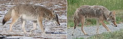Winter and Summer Coats for a Coyote (nature80020) Tags: coyote fur wintercoat summercoat nature wildlife metzgerfarmopenspace colorado
