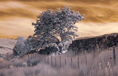 (Ian McClure) Tags: infrared tree dry stane dyke scotland sout ayrshire colour