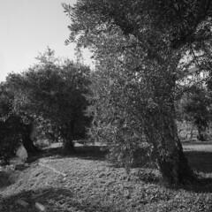 The olive tree (lebre.jaime) Tags: portugal beira covilhã tree olivetree leaves analogic film120 6x6 squareformat mf mediumformat bw blackwhite noiretblanc pb pretobranco sw schwarzweis ilford fp4 iso125 hasselblad 500cm distagon c3560 epson v600 affinity affinityphoto ptbw