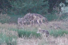 Coyote Family Play-Time Pile On (nature80020) Tags: coyote coyotefamily pups pileon play nature wildlife metzgerfarmopenspace colorado