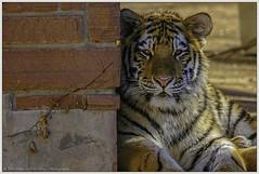 Staring Contest (rssii) Tags: nature animal carnivore cat feline bigcat tiger portrait pose eyes captive zoo zoosofnorthamerica denverzoo denver colorado usa 2011 contemplative color resting