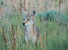 Coyote Pup at Metzger Farm Open Space, Colorado (nature80020) Tags: coyote pup nature wildlife metzgerfarmopenspace colorado