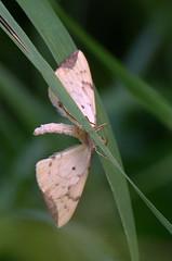 Kollane öövaksik; Gandaritis pyraliata; Barred Straw (urmas ojango) Tags: lepidoptera liblikalised insecta putukad insects moth vaksiklased nationalmothweek geometridae kollaneöövaksik gandaritispyraliata barredstraw