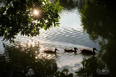 What a wonderful world (Andrej_Filipovski) Tags: duck ducks park nature lake water green leaf leaves landscape macedonia skopje city family be beautiful reflection reflections sun sunshine filipovski nikon d3200 1855 dslr