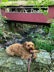 My Early Morning Photo Buddy (tquist24) Tags: cavapoo connecticut eightmilebrook nikon nikond5300 outdoor sicily southfordfallsstatepark bridge brook coveredbridge creek cute dog geotagged iphone iphonex leash outside park river rock rocks stream water