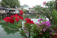 desert rose and  bougainvillea along the canal (the foreign photographer - ฝรั่งถ่) Tags: desert rose bougainvillea khlong thanon bangkhen bangkok thailand sony rx100