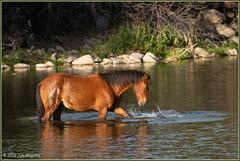 Beating the Heat 3451 (maguire33@verizon.net) Tags: saltriver herd horse wild wildhorse wildhorses