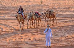 Camel Caravan - Wadi Rum, Jordan (TravelsWithDan) Tags: camels caravan desert wadirum jordan middleeast men candid forthetourists canong3x sand riding animals sunsetlight