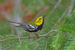 Black-throated Green Warbler (Alan Gutsell) Tags: blackthroatedgreenwarbler blackthroated green warbler black throated migration michigan upper peninsula alan nature wildlife photo canon statepark usa birds birding tahquamenonfalls june