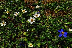 The peace within colours !! (Lopamudra !) Tags: lopamudra lopamudrabarman lopa india himalaya himalayas highaltitude highland hp himachal himachalpradesh hiking trek trekking flora flower flowers blue white wilderness wild hampta hamptapass