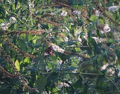 dappled (dunnrachel58) Tags: light butterfly butterflybush sunlight flower spicebushswallowtail wings