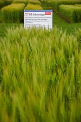 AB Advantage (Bracus Triticum) Tags: ab advantage barley 7月 七月 文月 shichigatsu fumizuki bookmonth 2019 reiwa summer july lacombe ラクーム アルバータ州 alberta canada カナダ flora