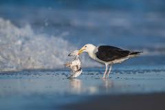 Raw Nature (nikunj.m.patel) Tags: wild nature birds wildlife gull commontern nikon beach water
