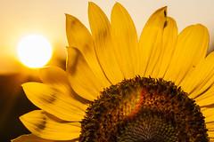 Watch sunrise with sunflowers (miguel_sanada) Tags: sunrise sunflower raleigh dorotheadixpark park canon5d 100mmf28 macro flash