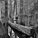Cypress Trees, Fallen and Upright (Black & White, Congaree National Park)