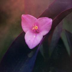 Purple heart (gomosh2) Tags: purpleheartflower tropicalflower tradescantia