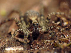 Wolf Spider (treegrow) Tags: rockcreekpark washingtondc nature lifeonearth arthropoda raynoxdcr250 arachnida araneae lycosidae
